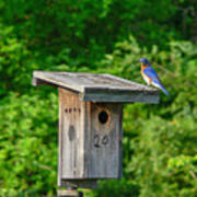 Bluebird With Grub Art Print