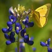Bluebonnet And Butterfly Art Print