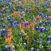 Bluebonnets And Paintbrushes 3 - Texas Art Print