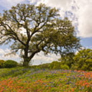 Bluebonnets Paintbrush And An Old Oak Tree - Texas Hill Country Art Print