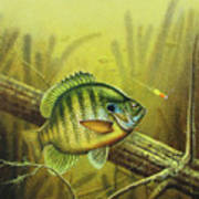 Bluegill And Jig Art Print