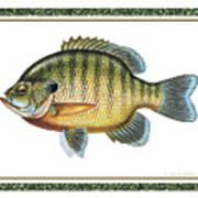 Bluegill Print Art Print by JQ Licensing