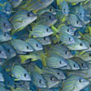 Bluestripe Snapper Art Print
