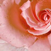 Blush Pink Rose Art Print