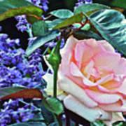 Blushing Rose Art Print
