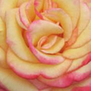Blushing Yellow Rose Art Print