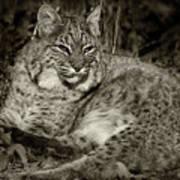 Bobcat In Black And White Art Print