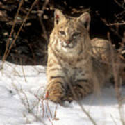 Bobcat In The Snow. Art Print