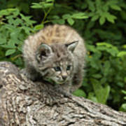 Bobcat Kitten Exploration Print by Sandra Bronstein