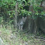 Bobcat In The Everglades Art Print