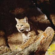Bobcat Lynx Rufus Portrait On Rock Art Print