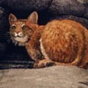 Bobcat On Ledge Art Print