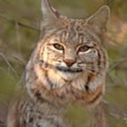 Bobcat Portrait Surrounded By Pine Art Print