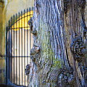 Boboli Garden Ancient Tree Art Print