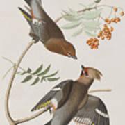 Bohemian Chatterer Art Print