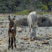 Bonaire Wild Donkeys 2 Art Print