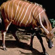 Bongo In Kenya Art Print
