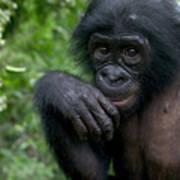 Bonobo Pan Paniscus Juvenile Orphan Art Print