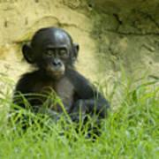 Bonobo Tyke Art Print