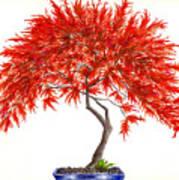 Bonsai Tree - Inaba Shidare Art Print