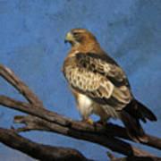 Booted Eagle Art Print