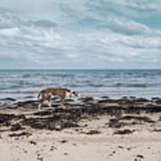 Borzoi Dog Stalking Alnmouth Beach Art Print