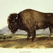 Bos Americanus, American Bison Art Print