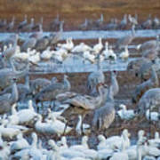 Bosque Cranes And Geese Art Print