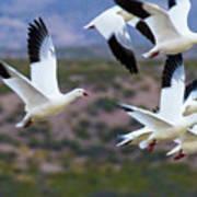 Bosque Snow Geese Flyover Art Print
