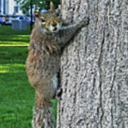 Boston Common Squirrel Hanging From A Tree Boston Ma Art Print