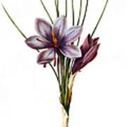 Botany: Saffron Art Print