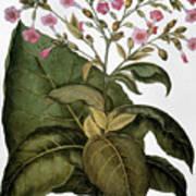 Botany: Tobacco Plant Art Print