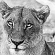 Botswana  Lioness In Black And White Art Print