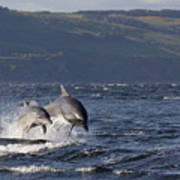 Bottlenose Dolphins Leaping - Scotland  #37 Art Print