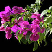 Bougainvillea Cutout Art Print