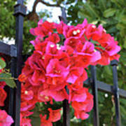 Bougainvillea On Southern Fence Art Print