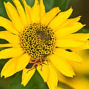 Box Elder Bug On False Sunflower Art Print
