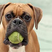 Boxer Dog Art Print by Jody Trappe Photography