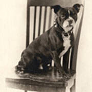 Boxer Sitting On A Chair Art Print