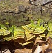 Bracket Fungus Art Print