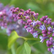 Branch Lilac Art Print