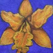 Brassolaeliocattleya Hybrid Art Print
