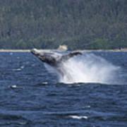 Breaching Whale. Art Print
