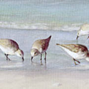 Breakfast On The Beach, Snowy Plover Sandpipers, Siesta Key, Wide-narrow Art Print