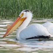 Breeding American White Pelican On Lower Sunshine Art Print