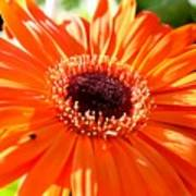 Bright Orange Gerbera  Art Print