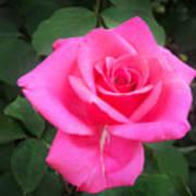 Bright-pink Rose 049 Art Print
