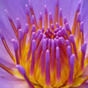 Bright Purple Lotus Art Print