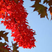 Bright Red Sunlit Autumn Leaves Fall Trees Art Print