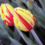 Bright Yellow And Red Tulips Art Print
